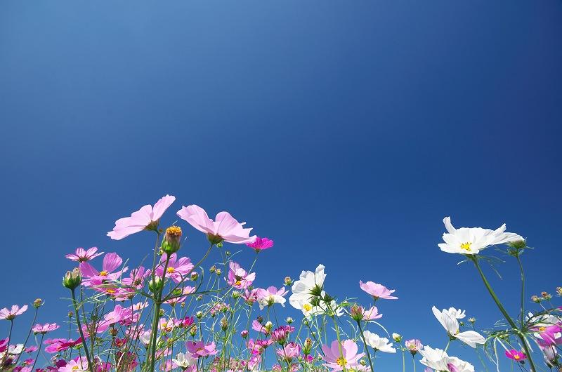 秋桜が咲く頃 2