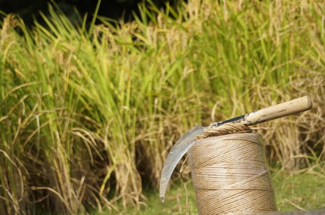 鎌と紐と稲