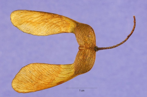 Samara of Sugar maple (480x318)