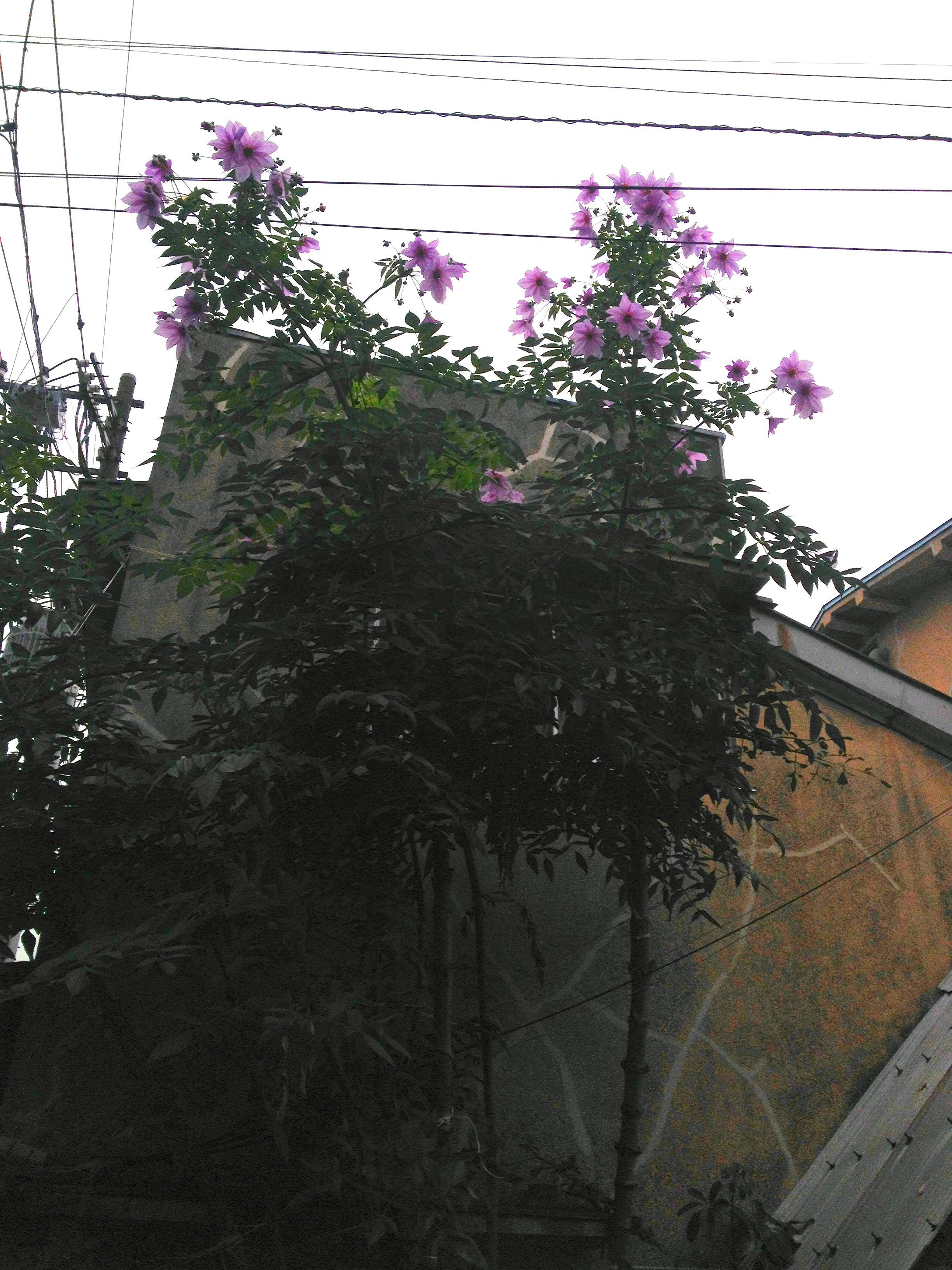 コダチダリア