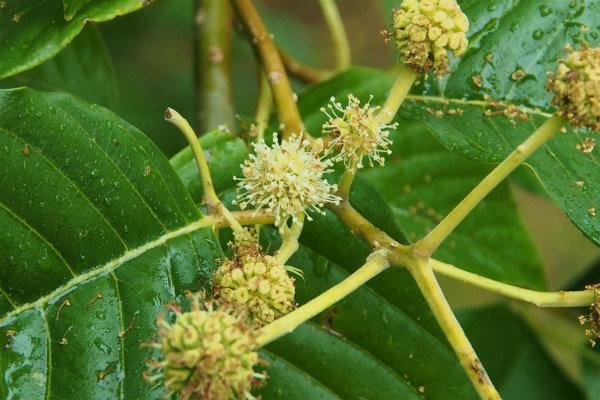 カンレンボク ( 旱蓮木 )