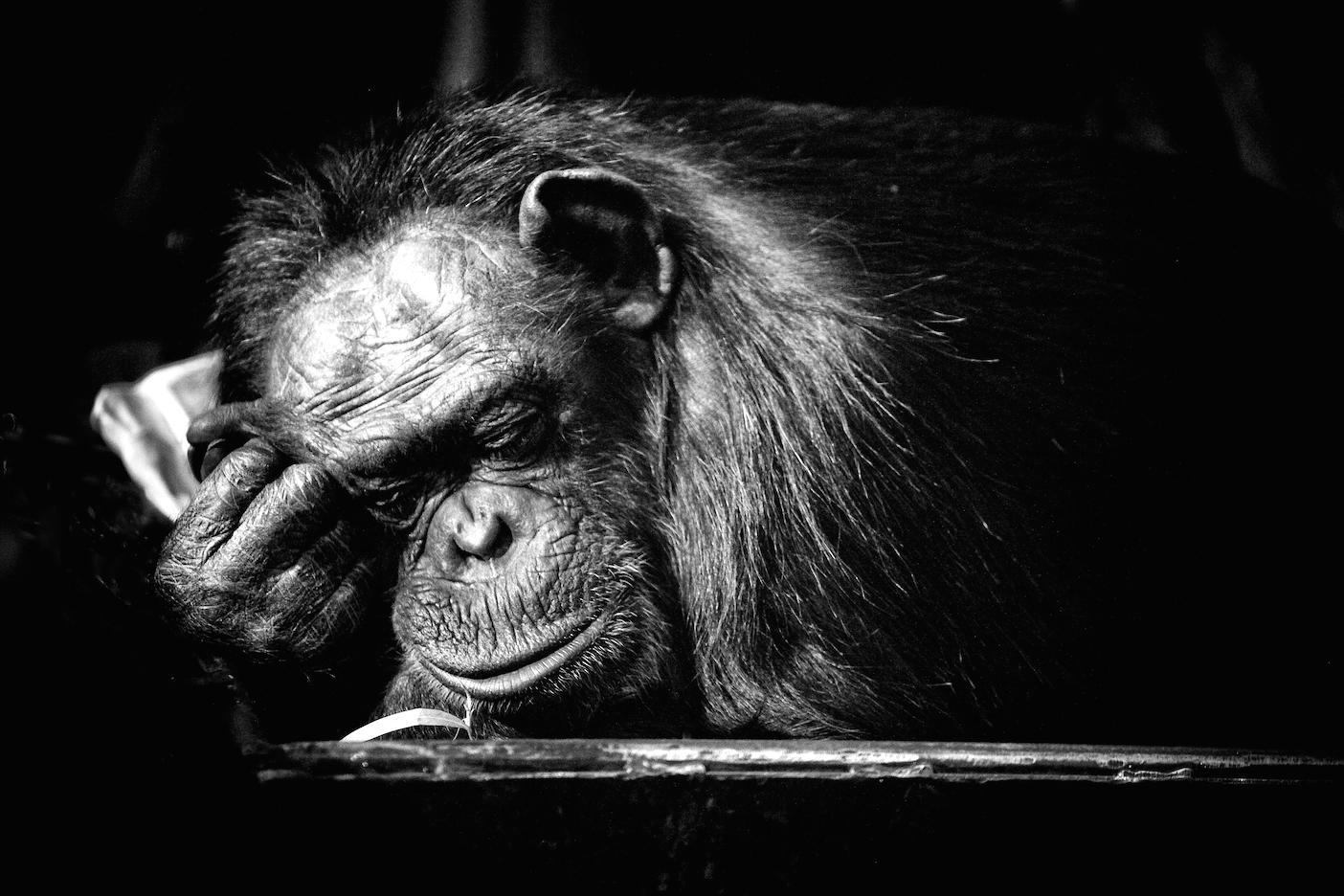 sleeping_chimp.jpg