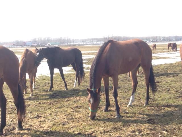 ノーザンファームで繁殖牝馬として繋養生活を送る、ジェンティルドンナ