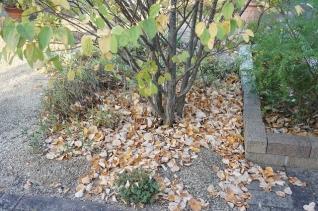 カツラの落葉2