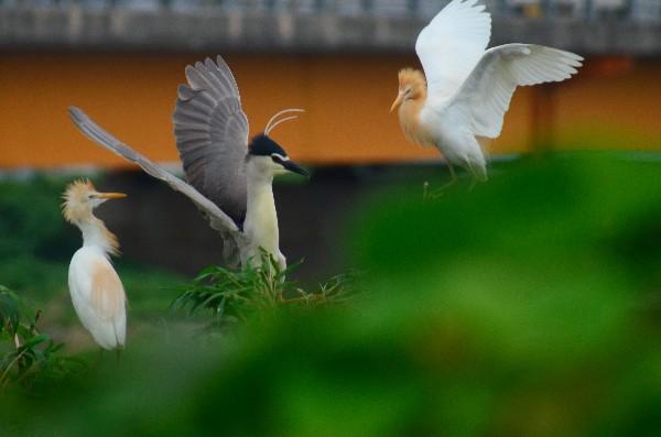 野鳥写真 サギ コロニー