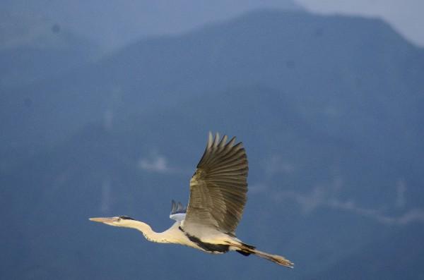西条市 野鳥写真 中山川大橋付近 アオサギ