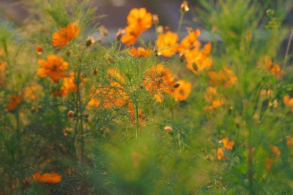 秋の花 コスモス 川沿いのコスモスの花