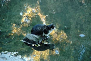 Cat on the stone in the pond