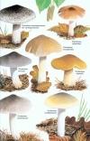 Collins_Fungi_Guide3.jpg