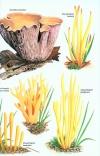 Collins_Fungi_Guide7.jpg