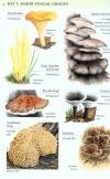 Collins_Fungi_Guide8.jpg