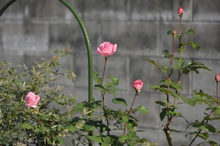 rose1020-1.jpg