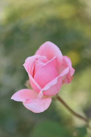 rose1020-1a.jpg