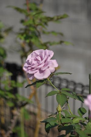 rose1020-2.jpg