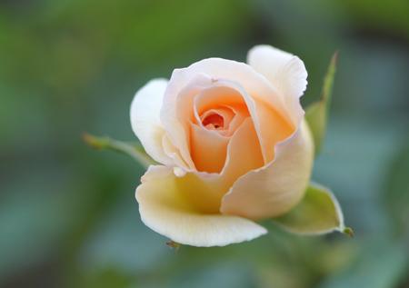 rose1020-3.jpg