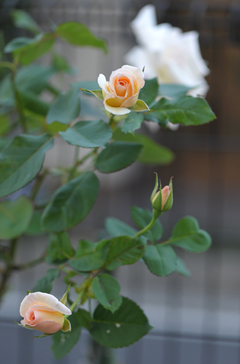 rose1020-3a.jpg