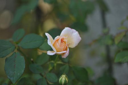 rose1020-4.jpg