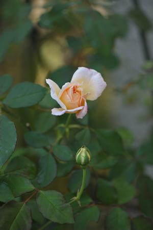 rose1020-4a.jpg