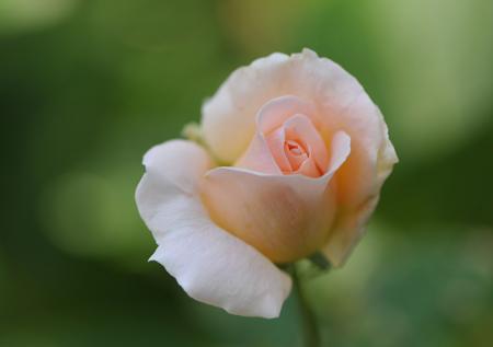 rose1020-5.jpg