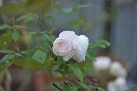 rose1020-6.jpg