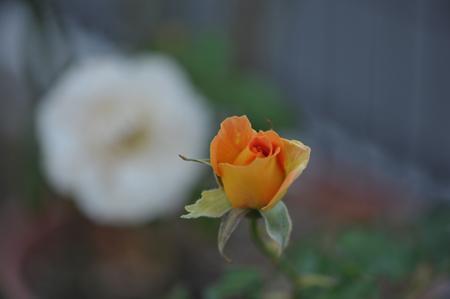 rose1020-7.jpg