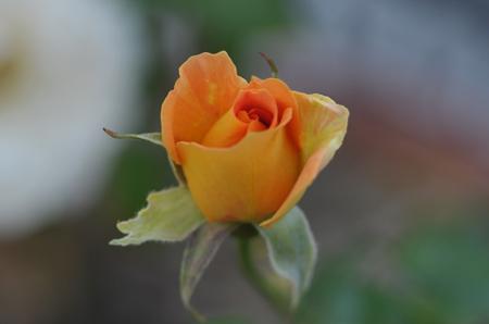rose1020-7a.jpg