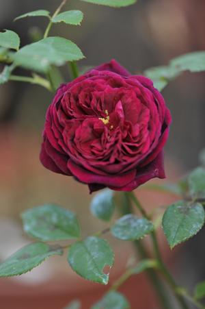 rose1020-8.jpg
