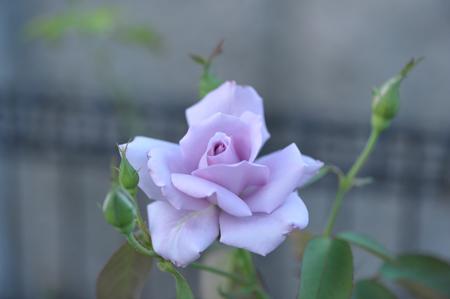 rose20151002-1.jpg