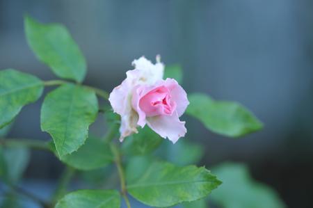 rose20151002-2.jpg
