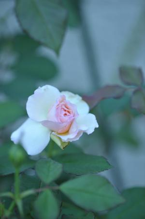 rose20151002-3.jpg