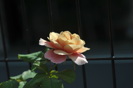 rose20151009-1.jpg