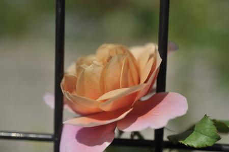 rose20151009-2.jpg