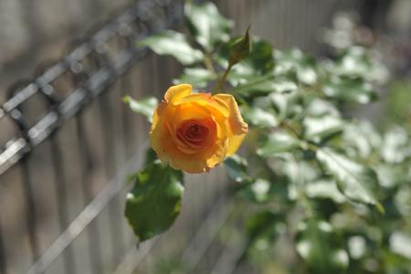 rose20151009-3.jpg