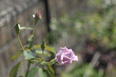 rose20151009-4.jpg