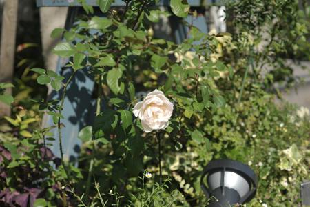 rose20151009-6.jpg