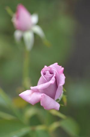 rose20151010-1.jpg