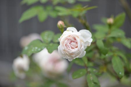 rose20151011-1.jpg
