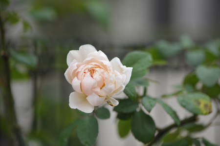 rose20151011-2.jpg