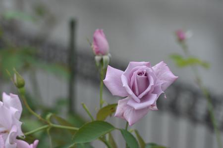 rose20151011-3.jpg