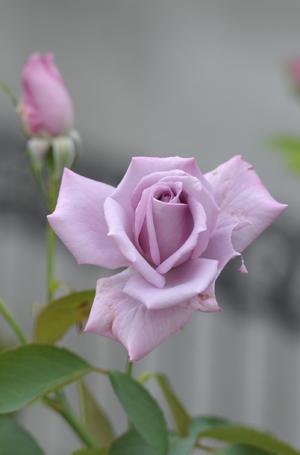 rose20151011-4.jpg