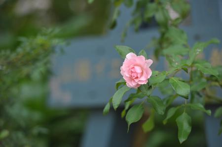 rose20151011-5.jpg