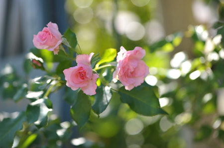 rose20151012-1.jpg