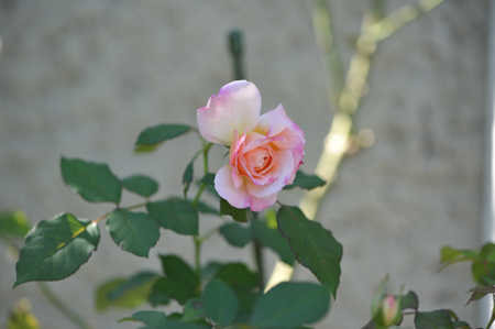 rose20151014-1.jpg