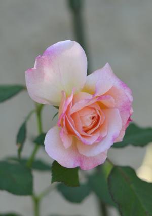 rose20151014-2.jpg