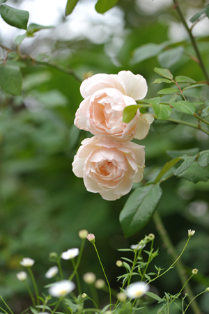 rose20151016-1.jpg