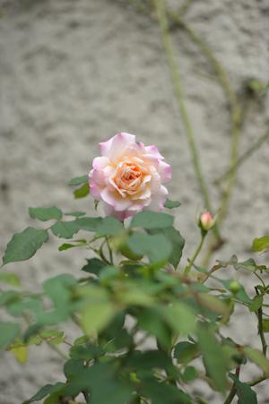 rose20151016-10.jpg