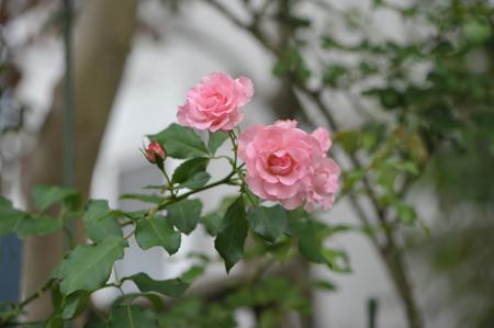 rose20151016-11.jpg