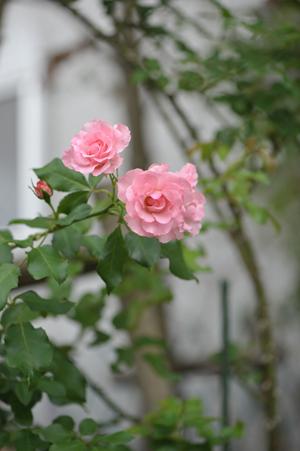 rose20151016-12.jpg