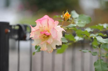 rose20151016-13.jpg