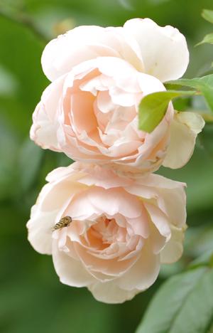 rose20151016-2.jpg